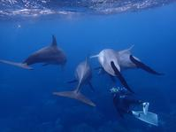 御蔵島便り201710 - さとうゆみ☆Smile of the Dolphin ~にゃんだか好い日~