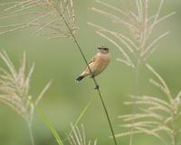 秋のノビタキさんを撮りたい - 鳥撮りに行こう!(ついでにあれもこれも)