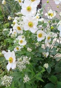 白いシュウメイギクとフジバカマ - ひだまりの庭 ~ヒネモスノタリ~
