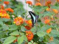 アオスジアゲハの飛び立ち - 堺のチョウ