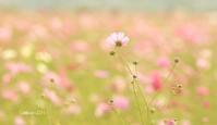 益子のコスモス祭り2017~矢板市の八方ヶ原の紅葉2017  - 日々の贈り物(私の宇都宮生活)