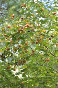 柿 - お花びより