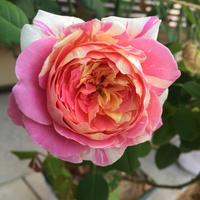 庭の薔薇 (10/12) - 春&ナナと庭の薔薇
