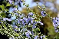 """植物そのものから見つめるレメディー探し - 英国メディカルハーバリスト&アロマセラピストのブログ""""Herbal Healing 別館"""""""