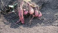 収穫安納芋 - polepoleな日々