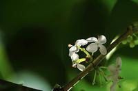 第50候 菊の花咲く - Wind Tribe Story