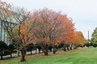 キャンパス千島桜の紅葉と癌摘出13年 - 照片画廊