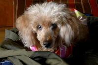 メリちゃん / Meri, my dog in her spot. - 花と天然石ハンドメイドジュエリー