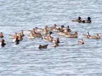 冬鳥の集団の中から(補) ホシハジロ   SYK - シエロの鳥ノート