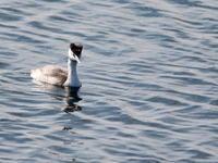 カンムリカイツブリ   SYK - シエロの鳥ノート