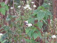 アサギマダラが飛んできた - 花の自由旋律