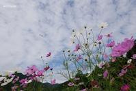 秋の空と秋桜と - aco* mode
