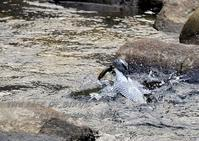 ヤマセミ、限界トリミング  [Ⅱ] - THE LIFE OF BIRDS --- 野鳥つれづれ記