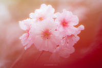十月桜 - My Palpitation