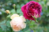 北東花壇のバラを整枝 - my small garden~sugar plum~