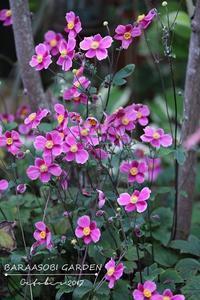 シュウメイギク - バラと遊ぶ庭