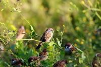 毎年恒例花と雀   SYK - シエロの鳥ノート