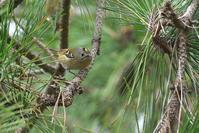 キクイタダキ - ごっちの鳥日記