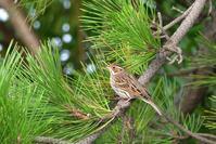 コホオアカ - ごっちの鳥日記