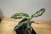 Aglaonema pictum 'GW1507Messiah' - PlantsCade -2nd effort