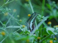 お馴染みの蝶々、そして種名不詳のキノコたち - 花と葉っぱ