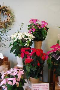 プリンセチアが入荷しています。この時期の花鉢お部屋がグッと変わりますよ! - 花と暮らす店 木花 Mocca