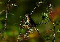 ノゴマ女子 - 可愛い野鳥たち 2