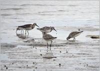 オバシギ干潟の遠くで - 野鳥の素顔 <野鳥と日々の出来事>