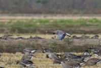 初見&初撮り カリガネ♪ - 北の大地で野鳥ときどきフライフィッシング