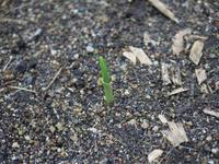 ニンニクの発芽 確認! - 勉強、畑、ときどき野球