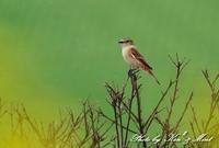 コスノビ・・撮りたかったのですが・・「ノビタキ」さん♪ - ケンケン&ミントの鳥撮りLifeⅡ