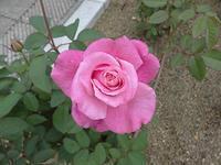本日、中之島の薔薇園に行きました。画像加工しています。 - 写真と画像 Illustrator&Photoshopで楽しんでます! ネイル画像!