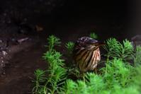 オオヨシゴイ - ごっちの鳥日記