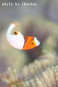 不完全燃焼イロブダイ幼魚 - 池ちゃんのマリンフォト