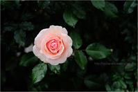 秋の薔薇 2 - りゅう太のあしあと