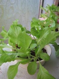 野菜水耕(その11) - North Lake Plants