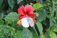 ツマベニチョウなど沖縄の蝶(その2) - 蝶のいる風景blog