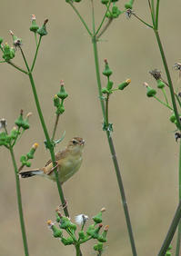 そば畑のセッカ - 今日も鳥撮り