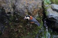 ヤマガラ エゴの実を貯蔵 2 - 気まぐれ野鳥写真