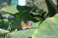市民農園で蝶のペア-を追いかける(^^♪ - 自然のキャンバス