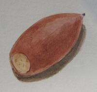 #植物スケッチ 『マテバシイのドングリ』 - スケッチ感察ノート