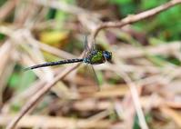ヤンマ3種 - 公園昆虫記