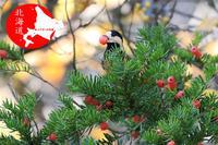 秋のヤマガラ - イチガンの花道