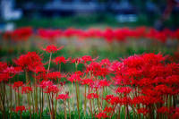 彼岸花! ~嵯峨野 広沢池周辺~ - Prado Photography!