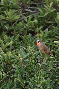 今季初撮り ノゴマのさえずり - 野鳥公園