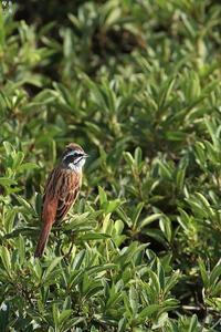 土手の野鳥達と 巨大スッポン - 野鳥公園