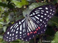 アカボシゴマダラ名義タイプ亜種(大陸亜種) - 草花と自然Blog