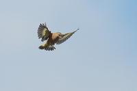 カワラヒワの飛翔シーン - 上州自然散策2