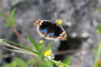 アオタテハモドキなど沖縄の蝶(その3) - 蝶のいる風景blog