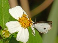 リュウキュウウラボシシジミなど沖縄の蝶(その4) - 蝶のいる風景blog